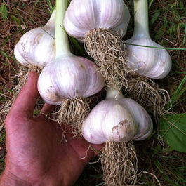 German extra hardy garlic.