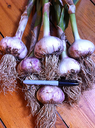 Bogatyr garlic seed.