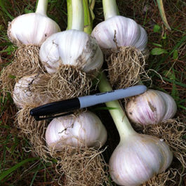 Georgian fire garlic.