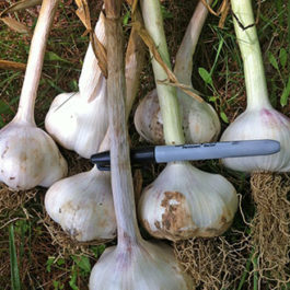 Red Inchellium garlic seed.