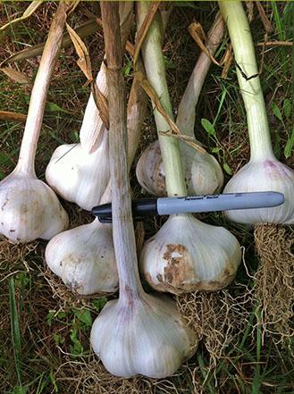 Red Inchellium garlic seed.