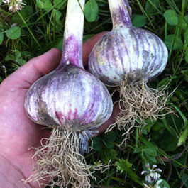 Russian-Red-Garlic