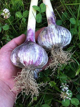 Russian-Red-Garlic